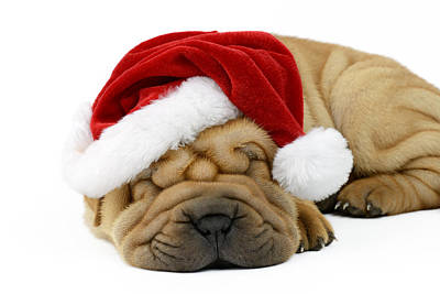 Sleeping Xmas Pup Poster by Greg Cuddiford