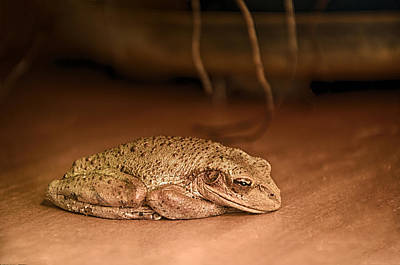 Sleepy Cuban Tree Frog Poster by Louise Hill