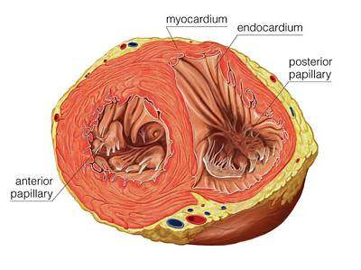 Smooth Muscle In Cardiac Muscle Poster by Asklepios Medical Atlas