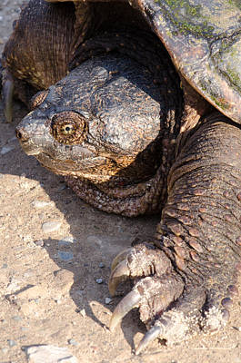 Snapping Turtle Poster by Thomas Pettengill