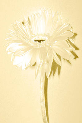 Snow Flake Zinnia Poster by Sherry Allen
