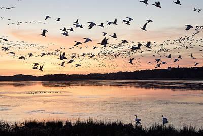 Snow Geese At Chincoteague Last Flight Of The Day Poster by Bill Swindaman
