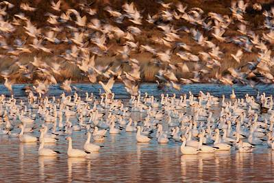 Snow Geese, Bosque Del Apache National Poster by Art Wolfe