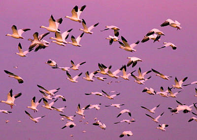 Snow Geese In Sunset Poster by Renee Owens