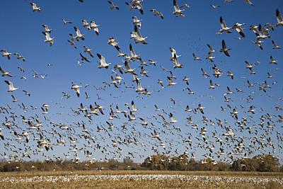 Snow Geese Taking Flight Bosque Del Poster by Tom Vezo