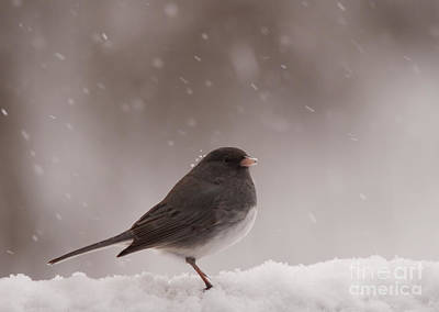 Snow Junco Poster by Cheryl Baxter