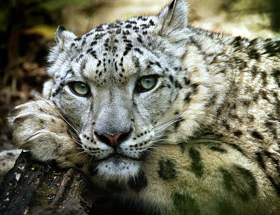 Snow Leopard Poster by Chris Boulton