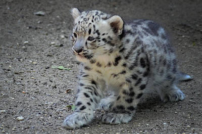 Snow Leopard Cub Poster by Terry DeLuco