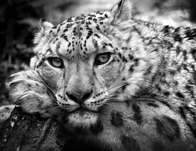 Snow Leopard In Black And White Poster by Chris Boulton