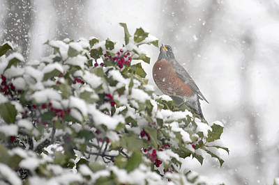 Snowy Day Robin Poster by Terry DeLuco