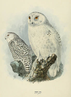 Snowy Owl 2 Poster by J G Keulemans