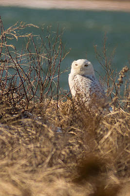 Snowy Owl At The Beach Poster by Allan Morrison