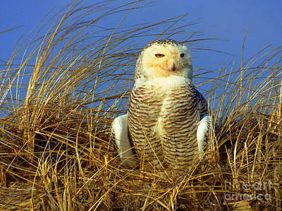 Snowy Owl  Poster by CapeScapes Fine Art Photography