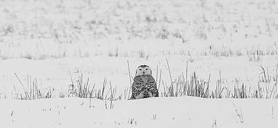 Snowy Owl In Snowy Field Poster by Carrie Ann Grippo-Pike