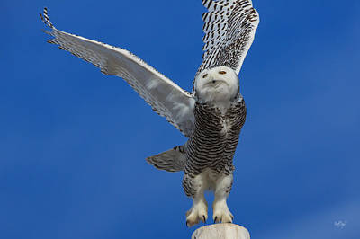 Snowy Owl Taking Flight Poster by Everet Regal