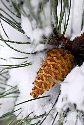 Snowy Pine Cone Poster by Elena Elisseeva
