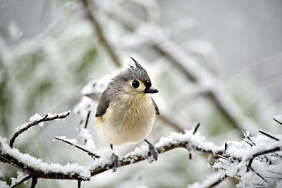 Snowy Tufted Titmouse Poster by Christina Rollo