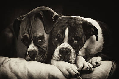 Snuggle Bug Boxer Dogs Poster by Stephanie McDowell