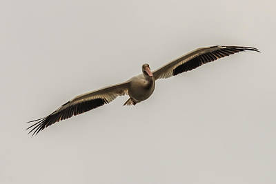 Soaring Pelican Poster by Paul Freidlund