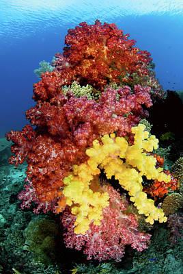 Soft Corals On Reef, Raja Ampat Poster by Jaynes Gallery