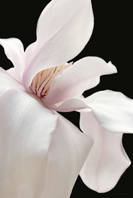 Soft Light Magnolia Flower Two Poster by Jennie Marie Schell