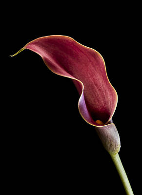 Solitary Calla  Poster by Jean Noren