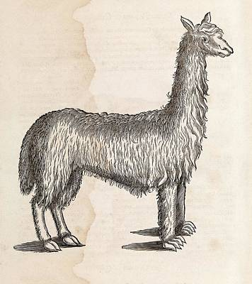 South American Camelid Poster by Middle Temple Library