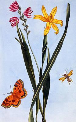 South American Ixia Poster by Pierre Joseph Buchoz