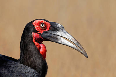 Southern Ground Hornbill Portrait Side View Poster by Johan Swanepoel