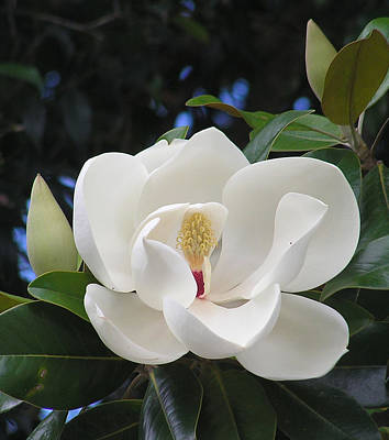 Southern Magnolia Poster by Margaret Saheed
