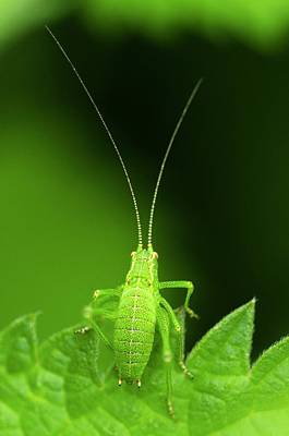 Speckled Bush-cricket Nymph Poster by Science Photo Library