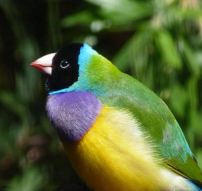 Spectacular Gouldian Finch Poster by Margaret Saheed