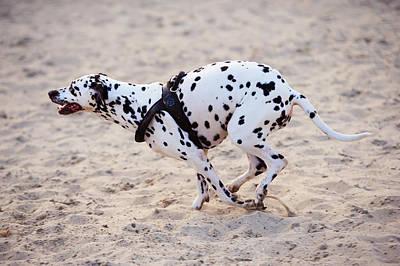 Speedy Girl. Kokkie. Dalmatian Dog Poster by Jenny Rainbow