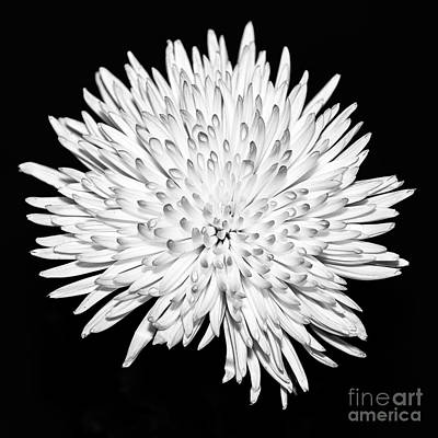 Spider Chrysanthemum Poster by John Farnan