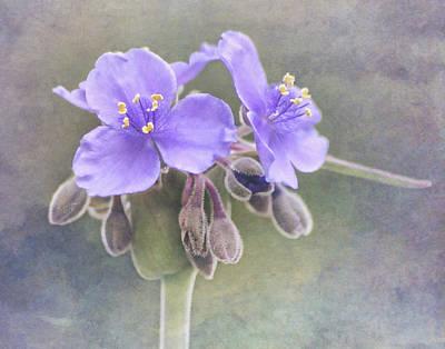 Spiderwort Poster by David and Carol Kelly