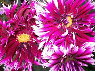 Spiky Dahlia  Poster by Sharon Duguay