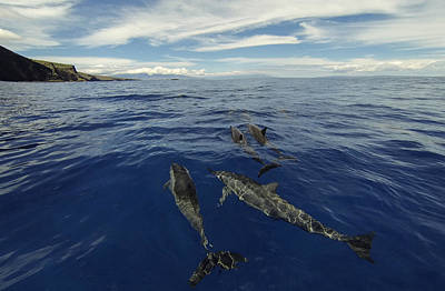 Spinner Dolphins Of Lanai Poster by Brad Scott