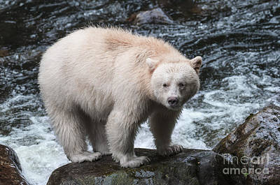 Spirit Bear From The Great Bear Rainforest Poster by Melody Watson