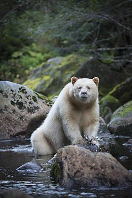 Spirit Bear In Creek Poster by Bill Cubitt