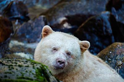 Spirit Bear Portrait Poster by Melody Watson