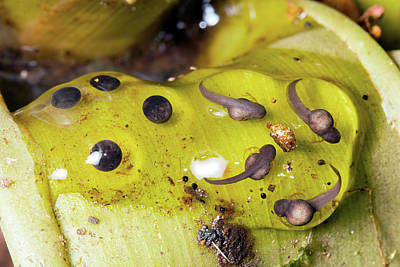 Splash-back Poison Frog Eggs Poster by Dr Morley Read