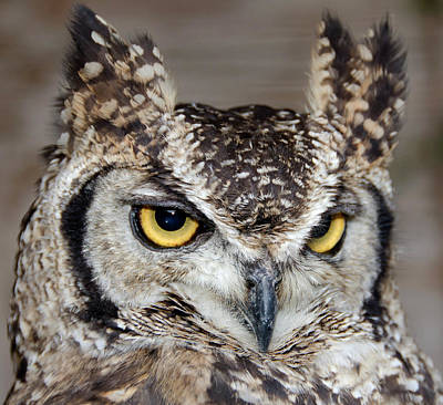 Spotted Eagle Owl Or African Eagle Owl Poster by Nigel Downer