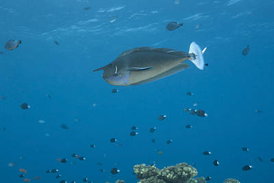 Spotted Unicornfish Swimming In Fiji Poster by Terry Moore