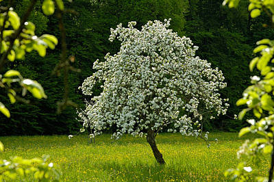 Spring - Blooming Apple Tree And Green Meadow Poster by Matthias Hauser