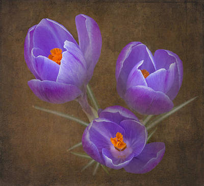 Spring Crocus Poster by Angie Vogel