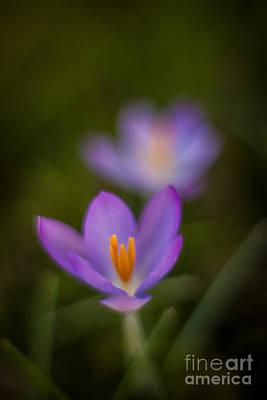 Spring Crocus Glow Poster by Mike Reid