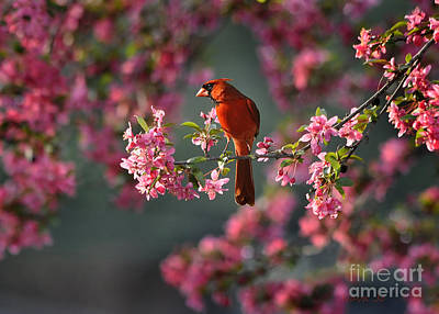 Spring Morning Cardinal Poster by Nava Thompson