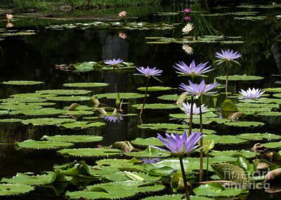 Sprinkling Of Purple Water Lilies Poster by Sabrina L Ryan