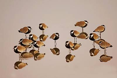 Spur-winged Lapwing (vanellus Spinosus) Poster by Photostock-israel
