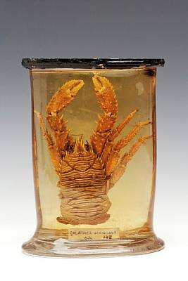 Squat Lobster Specimen Poster by Ucl, Grant Museum Of Zoology
